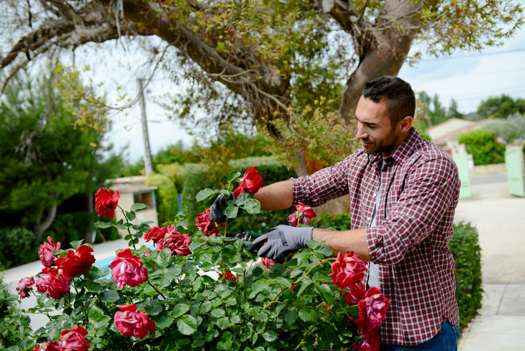 man trimming roses